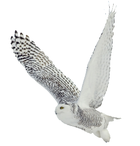 bigstock-Snowy-owl-on-white-background-54055999
