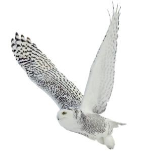 bigstock-Snowy-owl-on-white-background-54055999